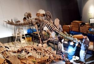 世界で初めて展示されるへスペロサウルスの実物全身骨格=1日、福井県勝山市の県立恐竜博物館