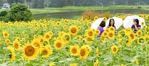 見頃を迎え、咲き誇るヒマワリ=7月13日、福井県大野市蓑道の「スターランドさかだに」