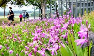 シランの花、北潟湖畔に広…