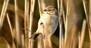 ヨシ原に潜み餌探し オオジュリン 三方五湖野鳥…