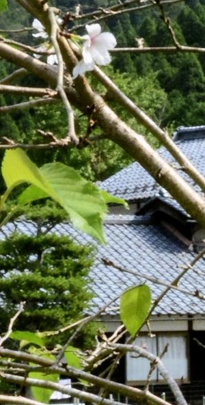 ソメイヨシノ開花、秋晴れに映える