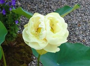 1本の茎に二つの花を付けた双頭蓮=24日、福井県永平寺町