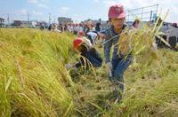 奇跡の復興米が黄金色に、大阪