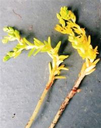 タイトゴメ北陸初確認 若杉さん(福井)が石川で 越前海岸でも調査