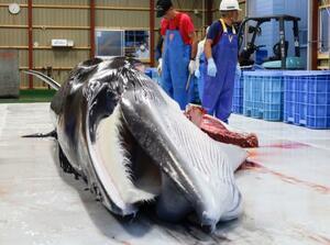 水揚げされ、北海道網走市の処理場に運び込まれたミンククジラ=16日午後