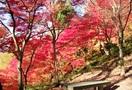 ふくいの名木 西山公園のモミジ 鯖江市桜町
