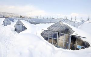 雪の重みで大きくへこんだビニールハウス=8日、福井市黒丸町