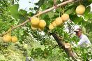 ギンナン、葉は緑でも実は黄色く