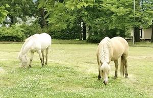 住宅街の公園で草を食べる2頭の馬=6月23日午前8時すぎ、福井県勝山市(提供写真)