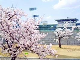 桜に包まれた「9・98スタジアム(福井県営陸上競技場)」=4月3日、福井市福町(日本空撮・小型無人機ドローンで撮影)