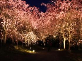 しだれ桜の名所に!!