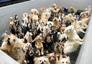 すし詰め状態で飼育されていた犬たち=2017年12月、福井県坂井市内(県内動物愛護グループ提供)