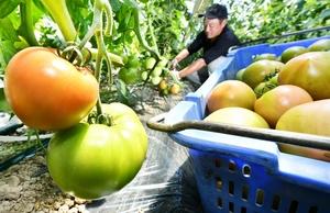 肉厚に育ち、次々と収穫される「越前とまと」=6月8日、福井県福井市東安居地区
