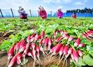 紅色鮮やか「二十日大根」収穫期