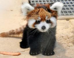 一般公開されているレッサーパンダの赤ちゃん「梅香」=5日、福井県の鯖江市西山動物園