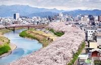 平成最後の春、足羽川染める桜の帯