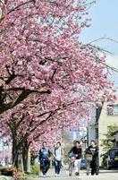 「ピンクのポンポン」八重桜満開