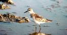トウネン 1万キロを渡る旅人 三方五湖野鳥辞典