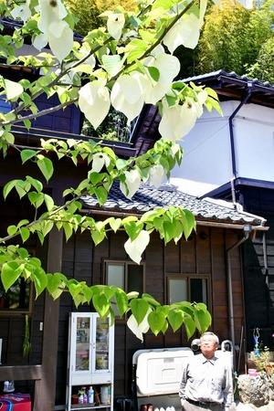 鯖江の民家でハンカチノキ…