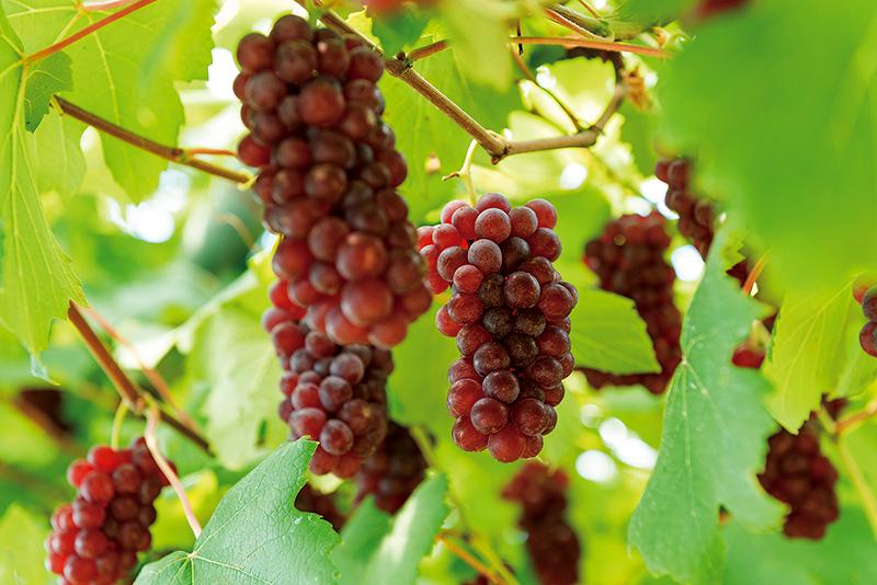 愛情と太陽が注がれた葡萄を召し上がれ。