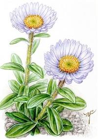 【レッツ!植物楽】アズマギク(東菊) キク科 乾いた草原に咲く