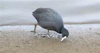 オオバン さかんに潜る黒い体 三方五湖野鳥辞典