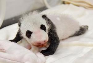 8月に生まれた雌の赤ちゃんパンダ=9日、和歌山県白浜町(アドベンチャーワールド提供)