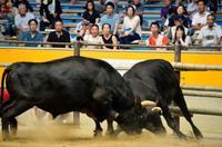 宇和島名物の闘牛大会で復興支援