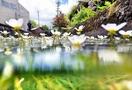 バイカモ、澄んだ水に花揺らす