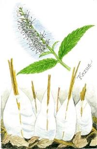 【レッツ!植物楽】シモバシラ(霜柱) シソ科 枯れた茎が作る霜柱