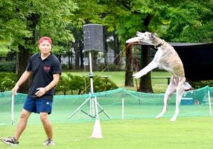 ディスクを鮮やかにキャッチする競技犬=7月13日、福井県坂井市の県総合グリーンセンター