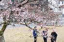 「一本桜」暖冬で開花?早くも見頃