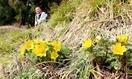 春告げるミチノクフクジュソウ開花