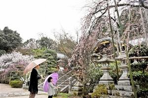 宮本さんが30年以上管理しているシダレザクラ=7日、福井県敦賀市の常宮神社