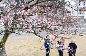 早くも見頃を迎えた一本桜=2月25日、福井県越前町気比庄