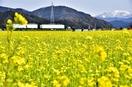 水田に菜の花満開、暖冬で見頃早く