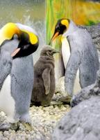 愛らしい姿のヒナ(中央)と寄り添う母親(右)父親(左)=15日、福井県坂井市の越前松島水族館