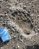 畑で見つかった成獣のクマの足跡=9月30日、福井県勝山市沢町2丁目(市提供)