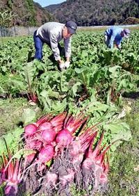 アカカンバ豊作 敦賀で収穫最盛期 直売を予定