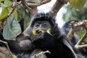 インドネシアの自然保護区で葉を食べるコロブス類のサル(京都大提供)