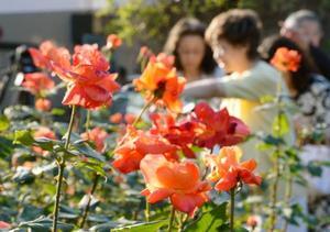 「ねむの木の庭」を訪れる人たちの目を楽しませているバラ、プリンセス・ミチコ=24日午後、東京都品川区