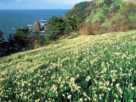 日本水仙の3大群生地 海岸一帯に咲き誇る越前水仙は必見