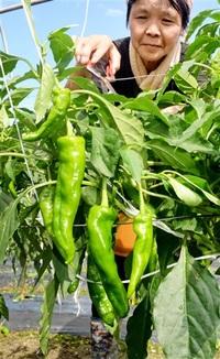 甘トウガラシ 輝く緑 おおいなど 特産化へ試験栽培 初収穫 量、味に自信