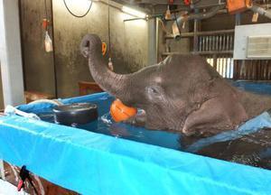 2016年9月、リハビリするアジアゾウ「マーラ」=愛知県豊橋市の豊橋総合動植物公園(同園提供)
