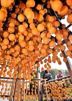 生産のピークを迎え、次々と天日干しされるつるし柿=20日、福井県南越前町二ツ屋