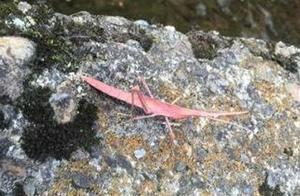 福井県鯖江市で見つかったピンク色のバッタ