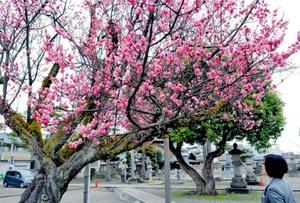 例年より早く満開を迎えた紫式部ゆかりの紅梅=8日、福井県越前市国府1丁目の本興寺境内