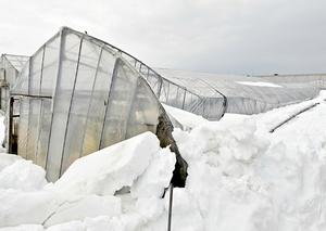 大雪で倒壊したビニールハウス=1月13日午後0時15分ごろ、福井県福井市大瀬町