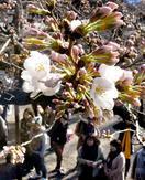 東京都心で桜が開花