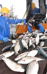ふくいサーモン おおい・大島 4季目出荷 1匹平均重さ2.2キロ きょうから県内販売